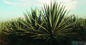 Tequila PATRON 1